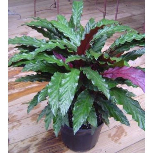 Mad About Plants Calathea Rufibarba