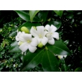 "Murraya paniculata ""Mock Orange"""