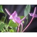 Anthurium species