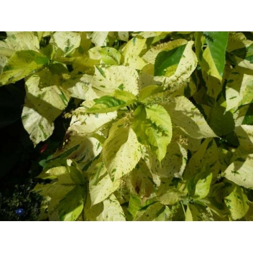 Mad About Plants Acalypha Wilkesiana Green White