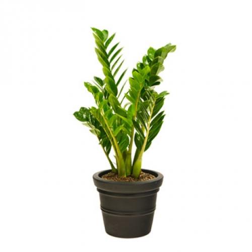 Mad about plants zamioculcas zanzibar gem - Hardy office plants ...