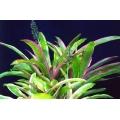 Aechmea luddemanniana  (Bromeliad)