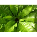 "Asplenium nidus   ""Bird's Nest Fern"""