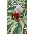 Costus speciosa variegated