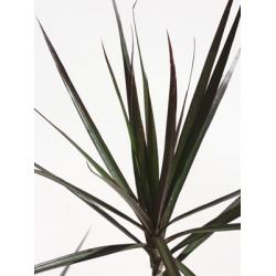 Draceana marginata Black