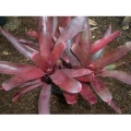 Neoregelia (Bromeliad)