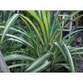 "Pandanus baptistii variegated   ""Screw pine"""
