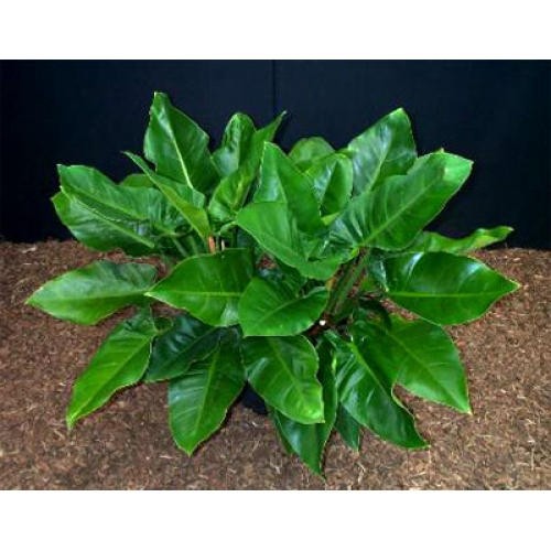 MAD ABOUT PLANTS - Philodendron Imperial green