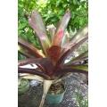 Werauhia sanguinolenta var. rubra   (bromeliad)