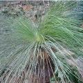 "Xanthorrhoea johnsonii  ""Grass tree"""