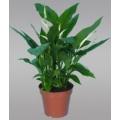 Spathiphyllum Species