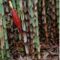 """Costus stenophyllus """"Cobra costus/Bamboo costus"""""""