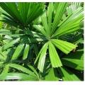 "Licuala Ramsayii ""Northern Fan Palm"""